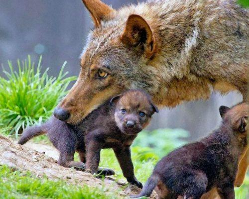 Cosa significa DAVVERO in bocca al lupo?